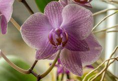 Lepkeorchidea: figyelj a földjére, ha kedves az élete