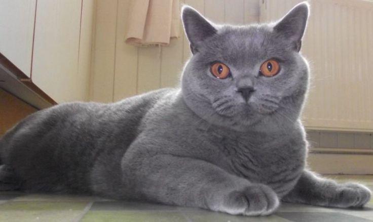Te descubrimos la raza de gato británico de pelo corto