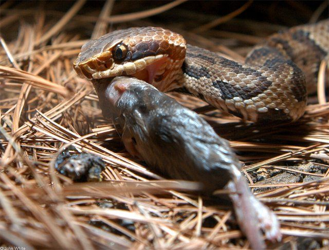 Best Snakes Images On Pinterest Combat Boots Snake And - Poisonous snakes in mississippi
