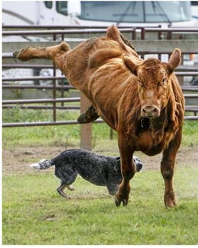 Australian Cattle Dog at work                                                                                                                                                                                 More