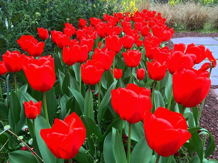 These red tulips provided great deal of natural beauty to Sforza Castle in Milan Italy.  ___ #tulips #nature #natural #red #milan #milano #italy #taliansko #europe #roadtrip #travel #tourism #color #nofilter #flowers #iphone #iphoneography #iphoneonly #green #beauty #sforza #castle