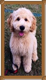 Multigen Mini Medium Goldendoodles page 7