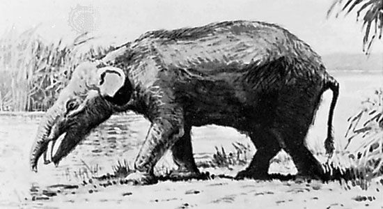 Extinct genus of primitive mammals that represent a very early stage in the evolution of elephants. Its fossils are found in deposits dated to the Eocene Epoch (55.8–33.9 million...