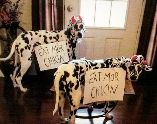 Awesome Halloween costume for these Harlequin Great Danes, or other dalmatian style dogs...Chick Fil A cows.