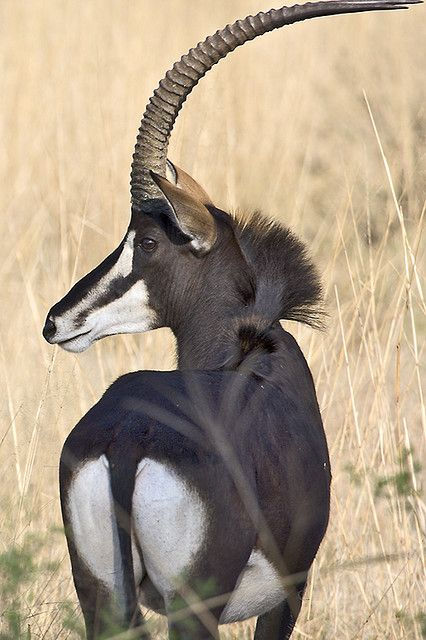 The Sable Antelope (Hippotragus niger) is an African antelope - photo by , via Flicker