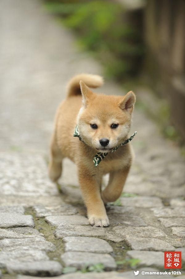 Shiba inu puppy, 豆助 @和風総本家