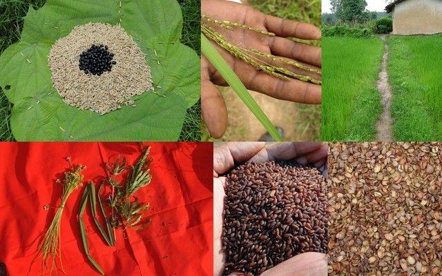 Medicinal Rice_-, I_PAO248903