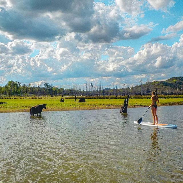 Feeling moo-velous testing out our new paddle boards 🐮