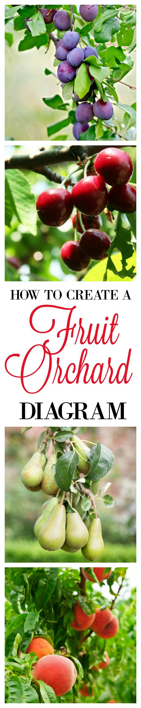 When I first planted the trees years ago I made a diagram of our property, added the fruit trees, and labeled them with what fruit they'd produce and the year I planted them. Over time I've lost and replaced trees adding and subtracting from my master list. Follow the link for a step by step tutorial on how to make your own Orchard Diagram for FREE.
