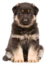Cute German Shepherd Puppy Waiting For Names