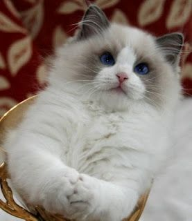 Ragdoll Cat > Given their name because they practically go limp in your arms = better for kisses