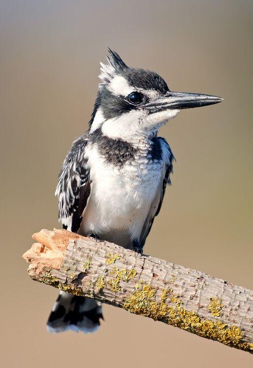 earth-song:    Малый пегий зимородок - Pied Kingfisher by Elizabeth