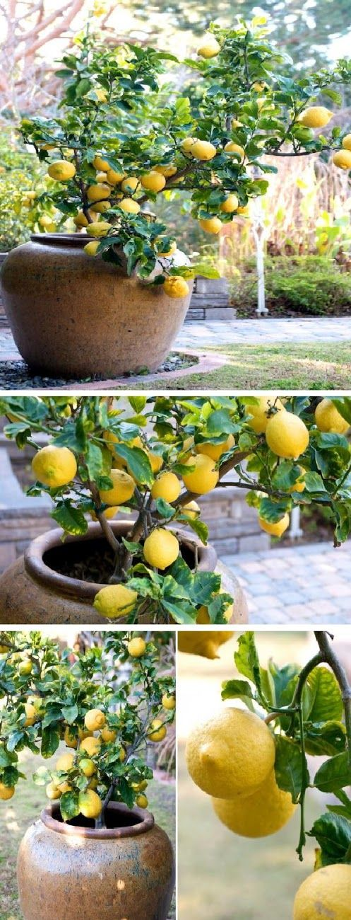 Lemon Tree for Container Gardening. Growing this lemon tree has a few challenges because the heat of the Summer season can quickly dry out the pot. Especially in the rustic looking terra cotta pots. We've since transplanted it into the glazed pot seen in these photos and it helps retain the moisture much better. More Container Gardening http://pinterest.com/wineinajug/container-gardening/
