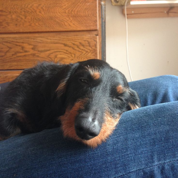 Peaceful morning #gravhund #dachshund #wirehaired