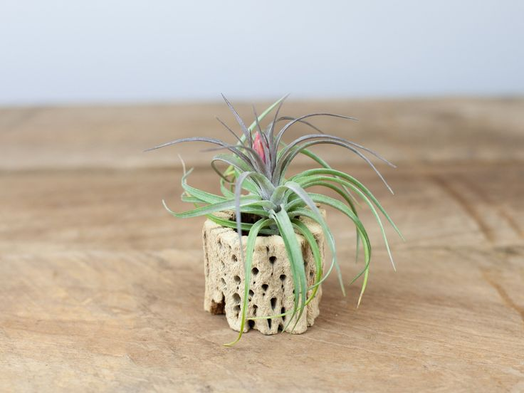 cholla wood display aeranthos hybrid air plant - Kopfteil Plant Knig