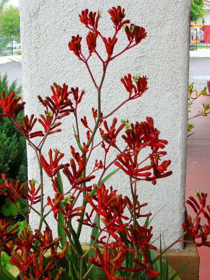 Easy care garden plants in San Diego include kangaroo paw Garden