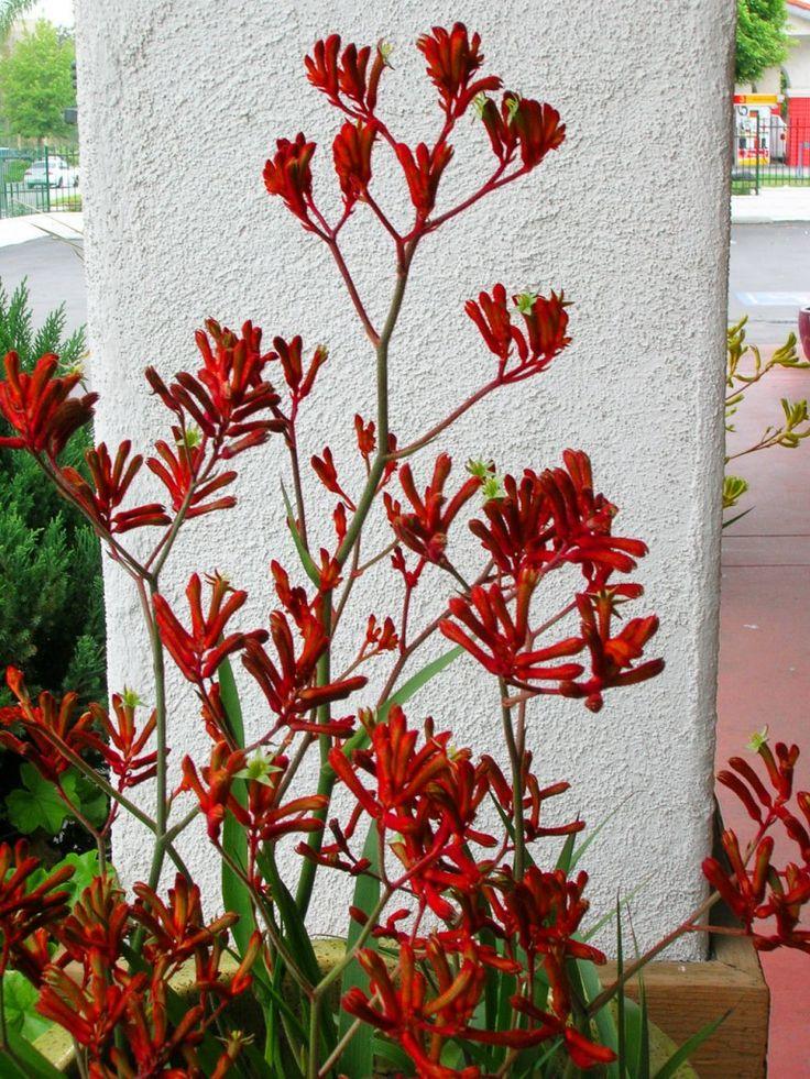 Easy care garden plants in San Diego include kangaroo paw Garden