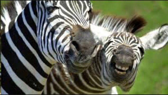 Zebras rule!!! #blackandWhite