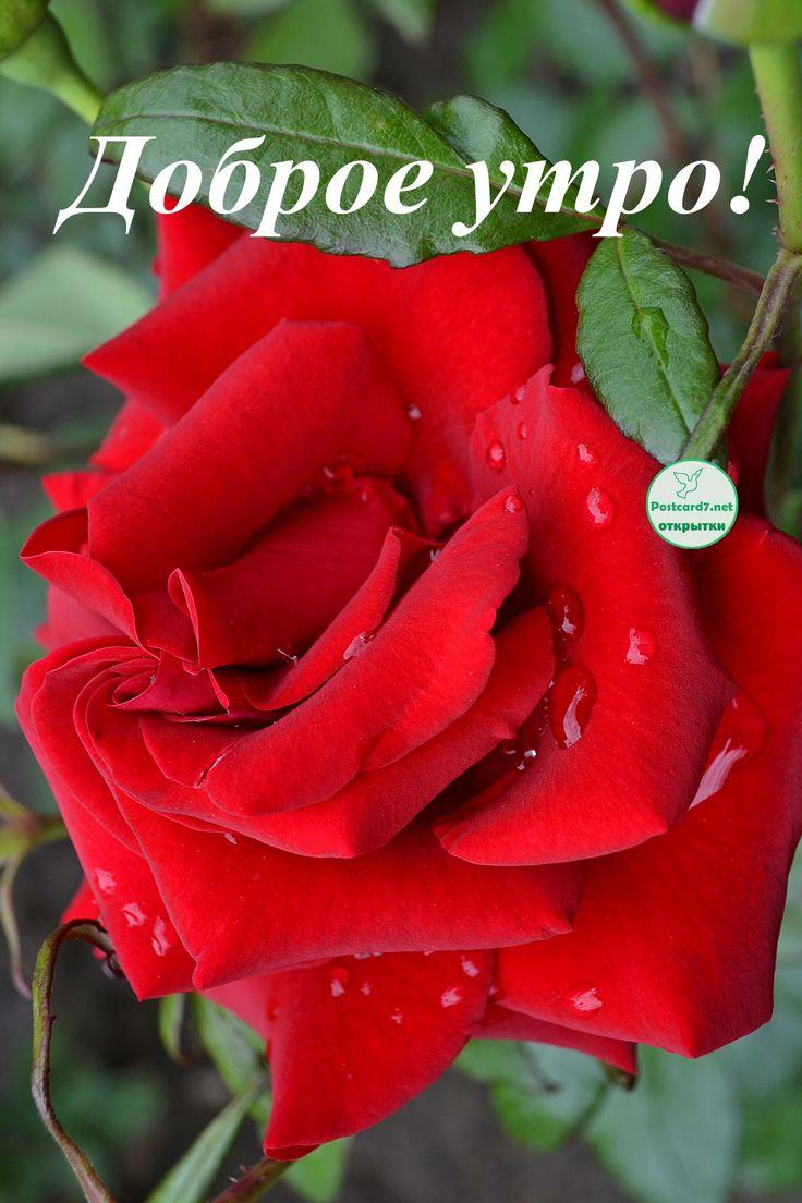 Картинки, красивая открытка с розами с добрым утром