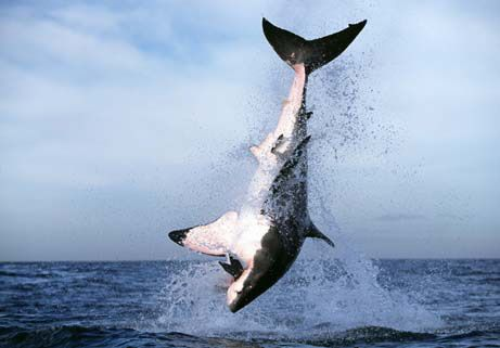 Sharks - Eating Things Since 409 Million B.C.