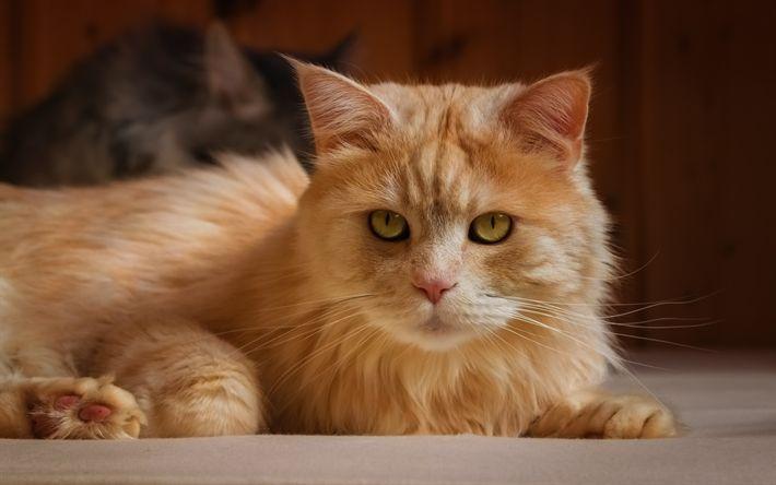 Download wallpapers red cat, domestic cat, cute pets, cats, furry cat