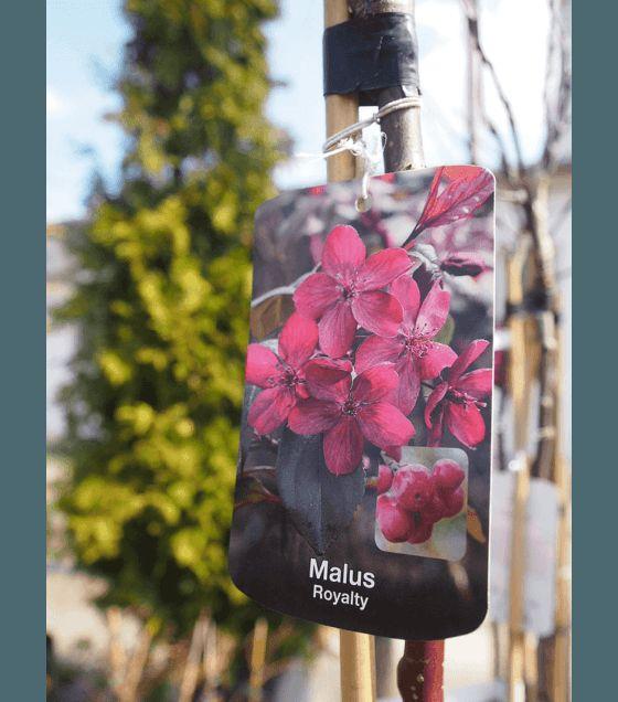 Malus Royalty - Червенолистна ябълка на присадка