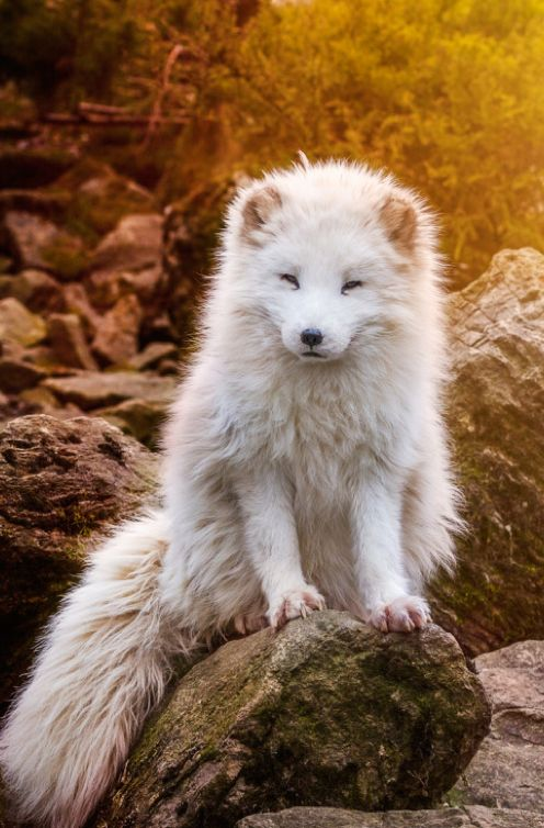 Polar fox during sunset.