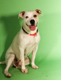 Petango.com – Meet Princess Peach, a 6 years 9 months Bulldog, American / Mix available for adoption in BROOKLYN, NY