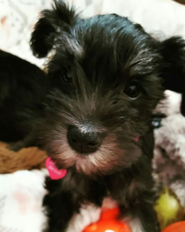 Nothing more cute than a schnauzer pup. This is Sadie