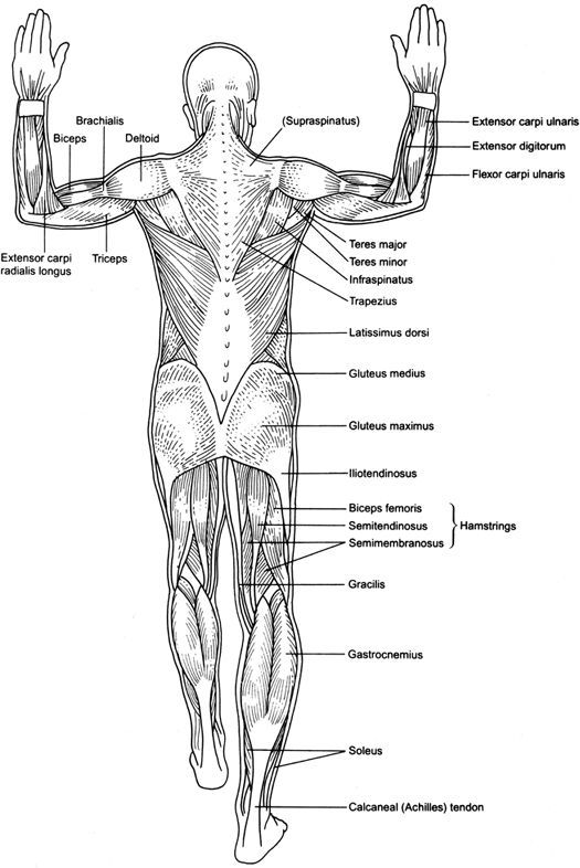Muscle Chart Template Human Anatomy And Physiology Muscular System