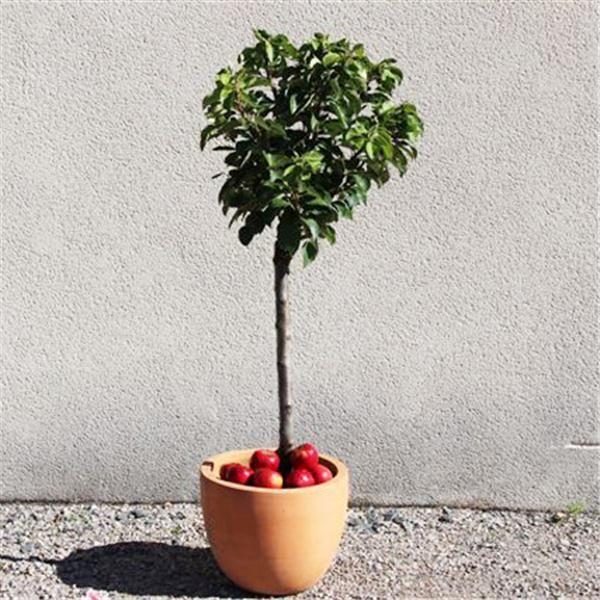 1000 id es sur le th me arbres nains sur pinterest - Arbustes nains pour bordure ...