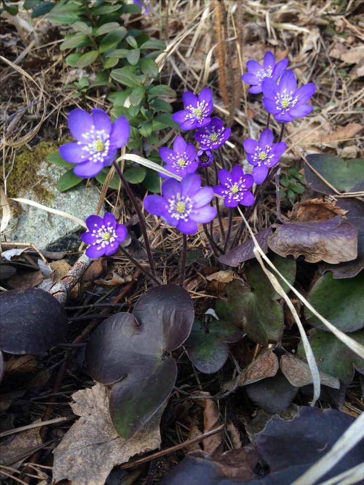 Varhainen kevät Ahvenistolla