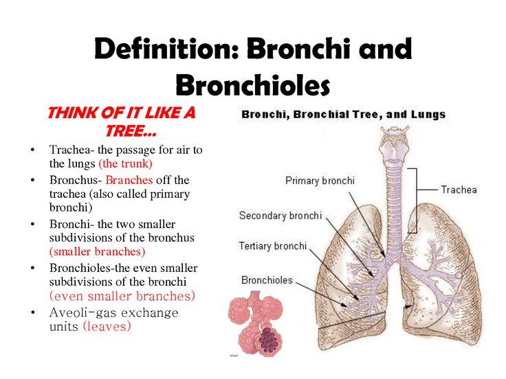 bronchi definition bronchi and bronchioles great board for anatomy. Black Bedroom Furniture Sets. Home Design Ideas