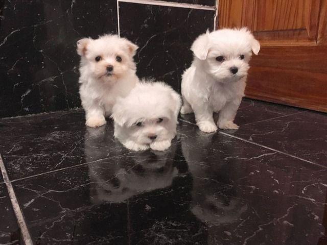 Amazing Maltese Puppies Animals Augusta Missouri