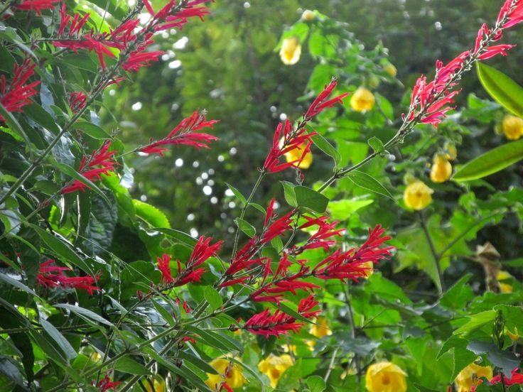 パイナップル・セージ(赤)とアブチロン(黄色)