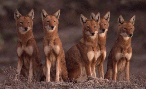 The stunning and extremely rare 'Ethiopian Wolf'. Lets hope we can save them from extinction.