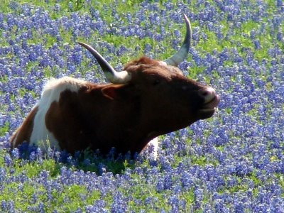 bluebonnets and longhornTexans, States Parks, For Kids, Fine Art Photography, Beautiful Texas, Flower Fields, Texas Bluebonnets, Texas Longhorns, Bluebonnets Fields