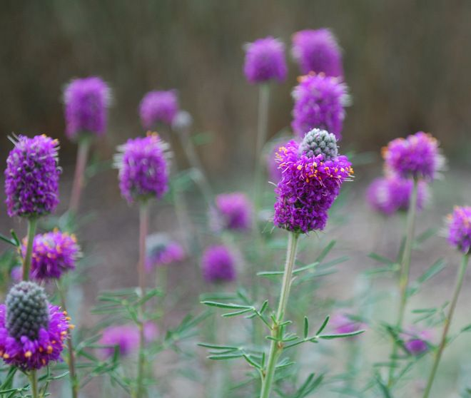 an analysis of the purple prairie clover flower Prairie purple clover flower close up (dalea purpurea)  the purple prairie  clover is included in the santa fe botanical garden's plant  bourn creative  website –  .