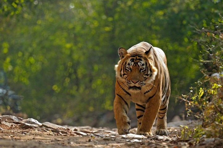 T-24 in Ranthambore Park