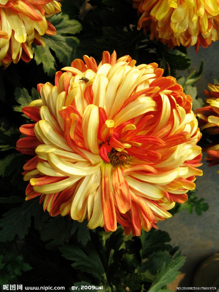 Orange Fall Peonies Wallpaper The 25 Best Chrysanthemums Ideas On Pinterest
