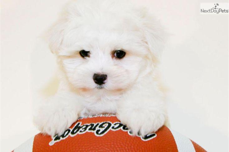 Meet Fiona a cute Maltese puppy for sale for $899. Meet Fiona Our Female Teacup Maltese!