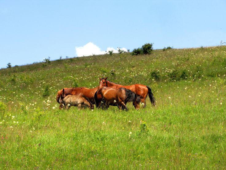 Horses in Trascau