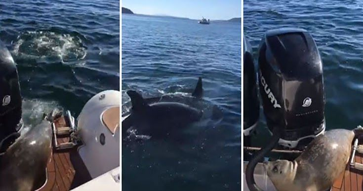Φώκια πηδάει πάνω σε σκάφος για να γλυτώσει από όρκες (Video)