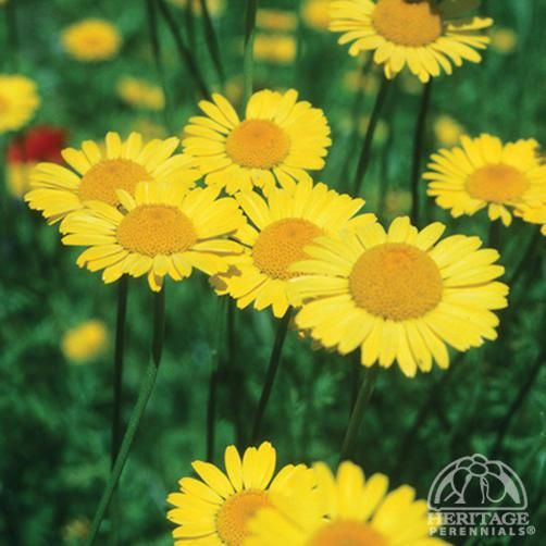 Anthemis tinctoria 'Kelwayi' Golden Marguerite Daisy The hardy Marguerite Daisies are among the best choices for summer-long colour in the sunny border. Plants form a bushy mound of ferny green foliage, bearing loads of small bright-yellow daisies from early summer on. Relatively drought tolerant, and adapts well to poor soils. Removing faded flowers regularly. If plants become floppy in mid-summer, shear them back to 6 to rejuvenate. A short-lived perennial, but will often self seed.