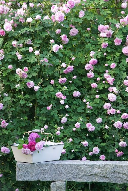 Garden | Sonja Bannick Pictures - Blanketed by  roses - looks like heaven to me.