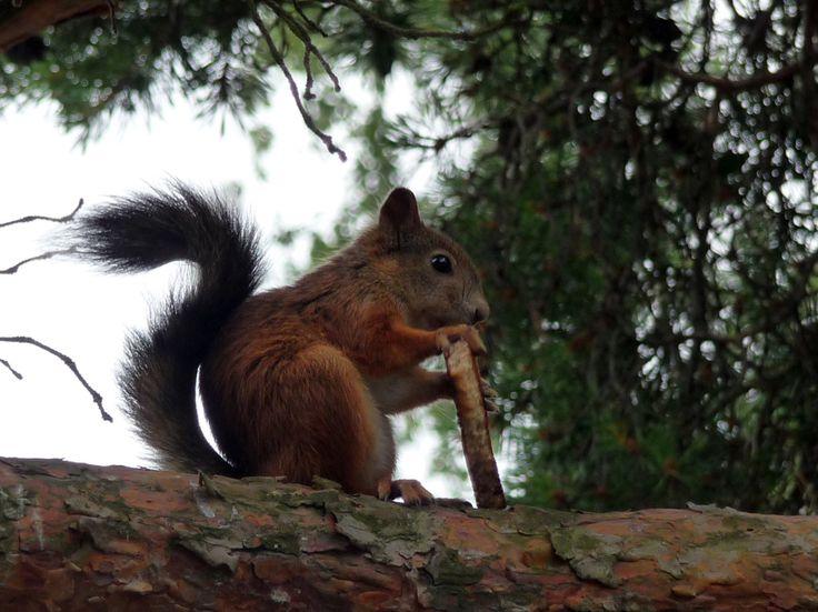 Portfolio Multimedeia: Oravalla puussa paahtoleipä oli suussa