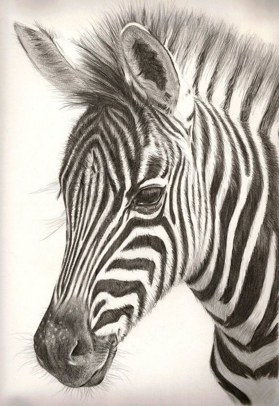 zebra pencil drawing - photo #2