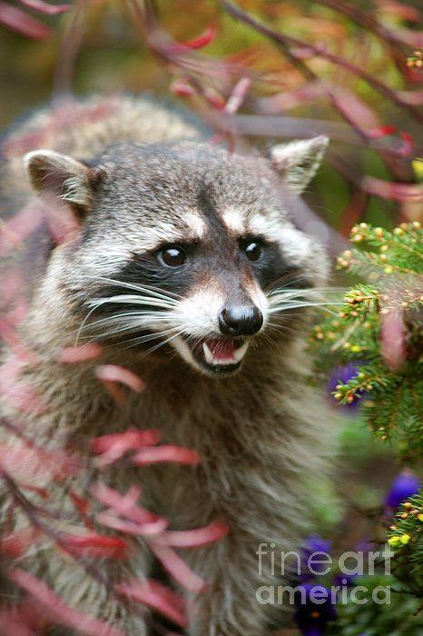 Big Raccoon. www.rharrisphotos.com