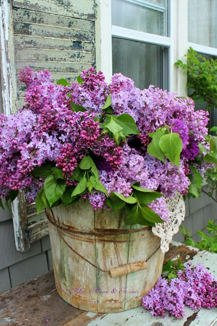bushel basket of lilacs...homeiswheretheboatis blog