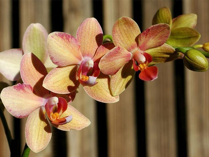 осуждают образ орхидея фаленопсис фото уход в домашних условиях сочи